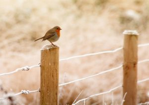 robin sat on a fence post