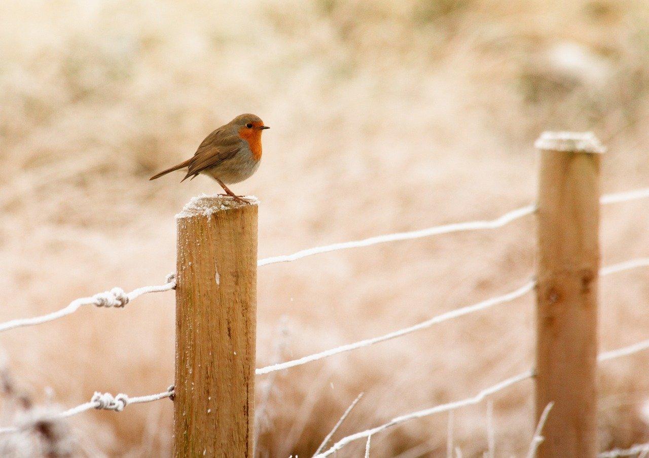 robin sat on a fence post